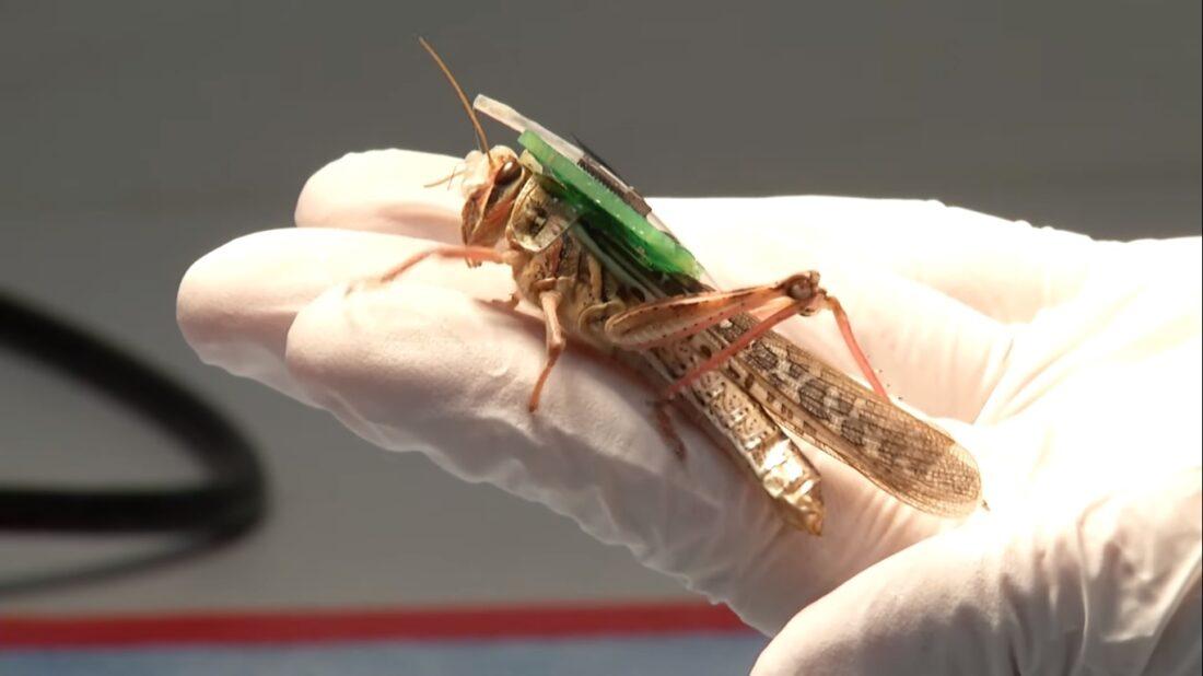 locust biorobots